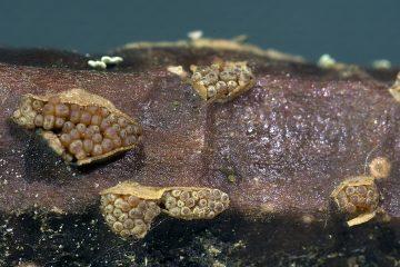Thyronectria aquifolii