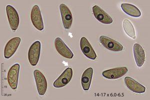 Anthostomella tomicoides