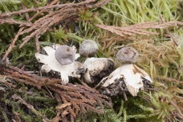 Geastrum granulosum