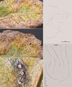 Stromatoseptoria castaneicola