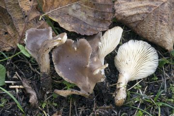 Hohenbuehelia pseudopetaloides