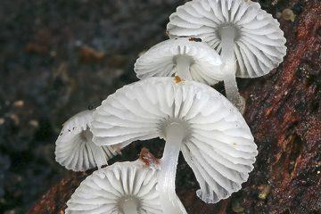 Mycena chlorophos