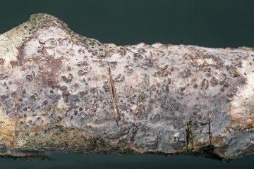 Peniophora limitata