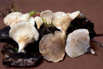 Hohenbuehelia auriscalpium