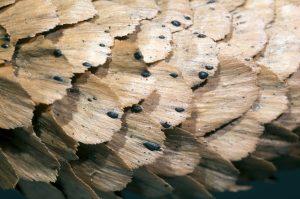 Pgragmotrichum chailletii
