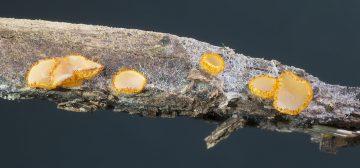 Arachnopeziza aurelia