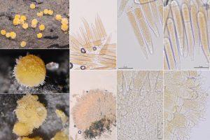 Bactridium flavum