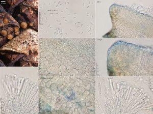 Orbilia eucalypti