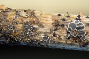 Pyrenopeziza escharodes
