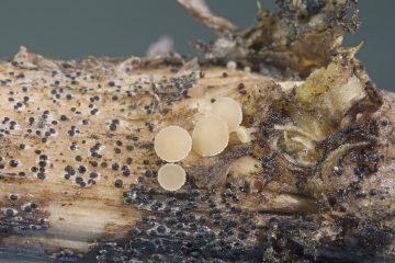Cyathicula sp.