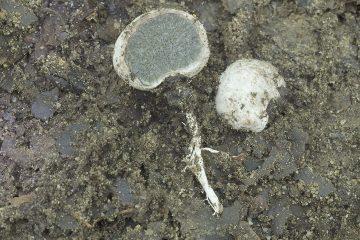 Hysterangium coriaceum