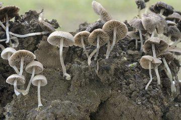 Psathyrella pygmaea