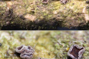 Unguiculariopsis robergei