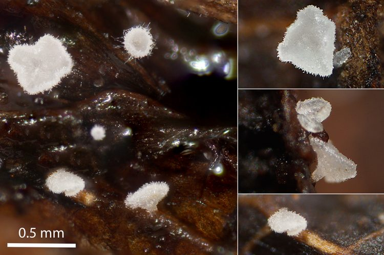 Hamatocanthoscypha laricionis