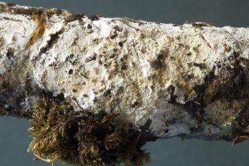 Bevicellicium olivascens