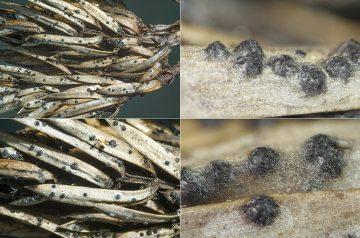 Herpotrichia juniperi