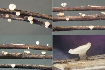 Hymenoscyphus albidus