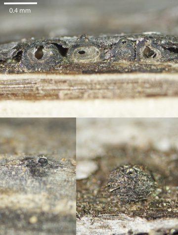 Leptosphaeria maculans