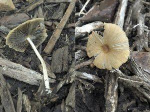 Parasola auricoma