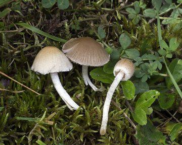 Psathyrella senex
