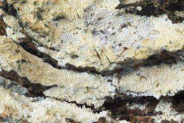 Xylodon brevisetus