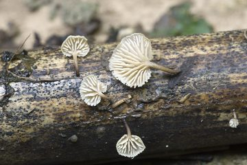 Lentinellus flavelliformis