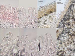 Leucoagaricus sublittoralis