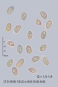 Naucoria amarescens