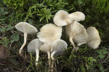 Clitocybe agrestis