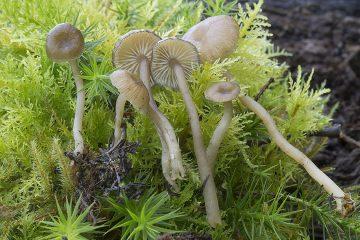 Gamundia hygrocyboides