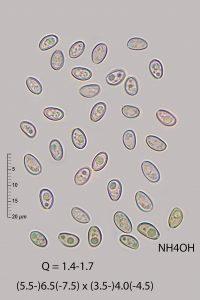 Hypholoma lateritium