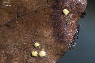 Phaeohelotium carpinicola