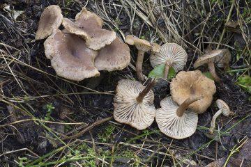 Pseudoomphalina graveolens