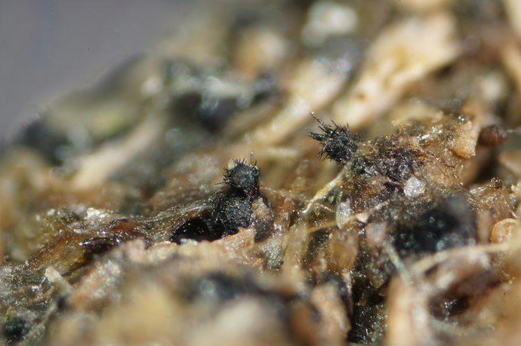 Coniochaeta scatigena