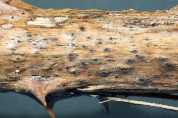 Valsa ceratosperma
