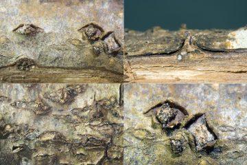 Dendrostoma atlanticum