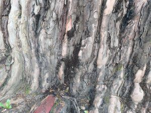 Capnobotrys dingleyae