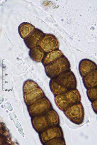 Pleomassaria siparia