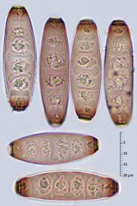 Coryneum lanciforme