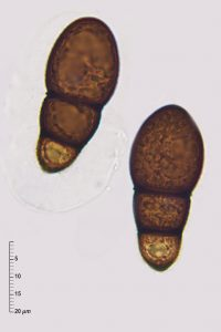 Splanchnonema foedans