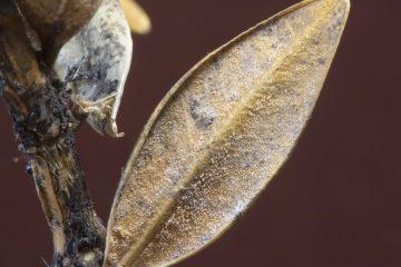 Pseudonectria buxi