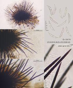 Colletotrichum dematium