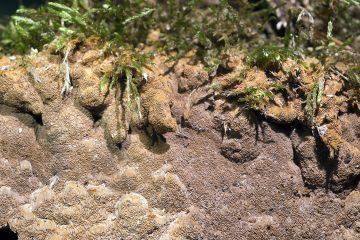 Fuscoporia ferruginosa