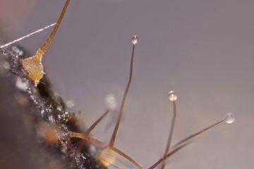 Sphaeronaemella fimicola