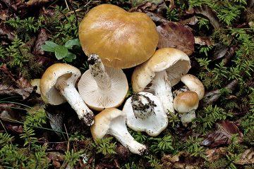Cortinarius turmalis