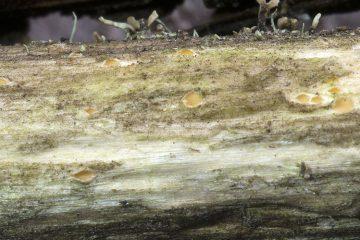 Cryptodiscus pallidus