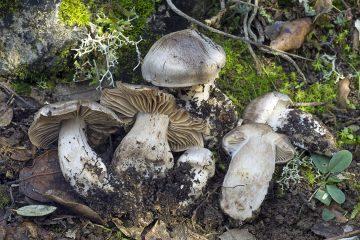 Cortinarius aprinus