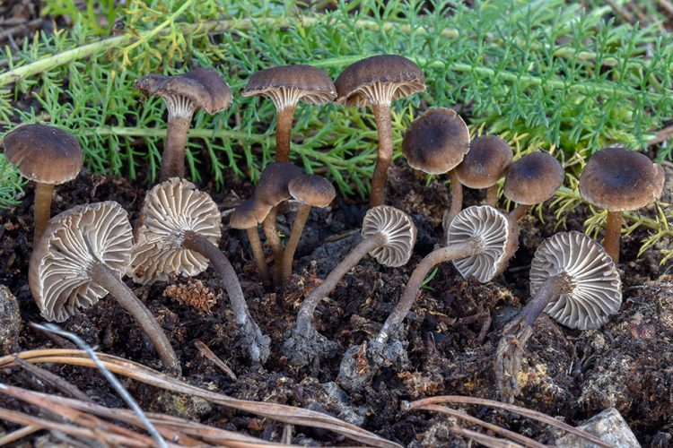 Hodophilus foetens