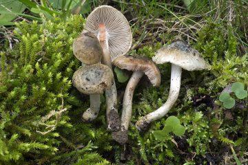 Inocybe haemacta