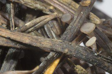 Ombrophila tetracladia
